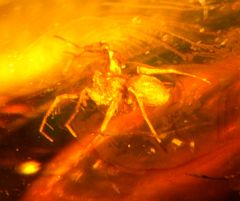 Spider trapped in amber